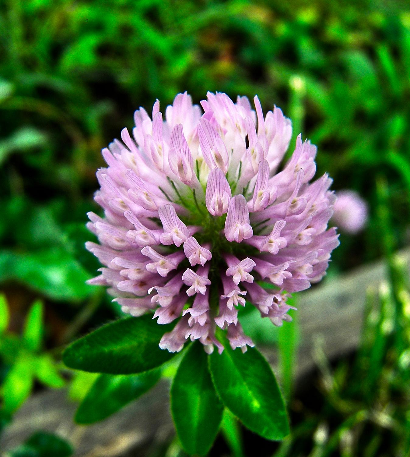 - <center>Big pink clover - Techno-Impressionist Museum - Techno-Impressionism - art - beautiful - photo photography picture - by Tony Karp