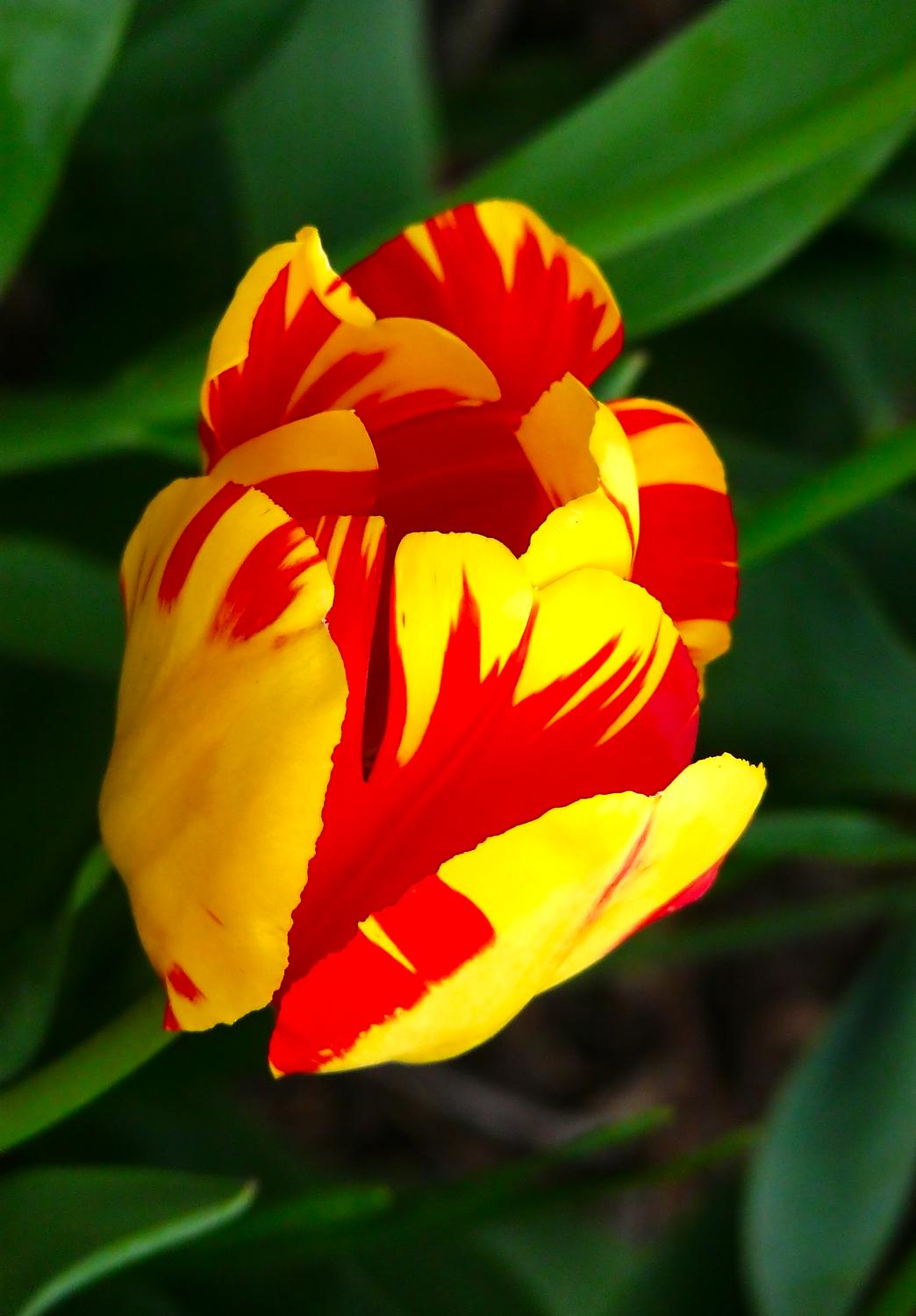 glorious red and yellow tulip background subdued - Nature - such a precious gift - Techno-Impressionist Museum - Techno-Impressionism - art - beautiful - photo photography picture - by Tony Karp