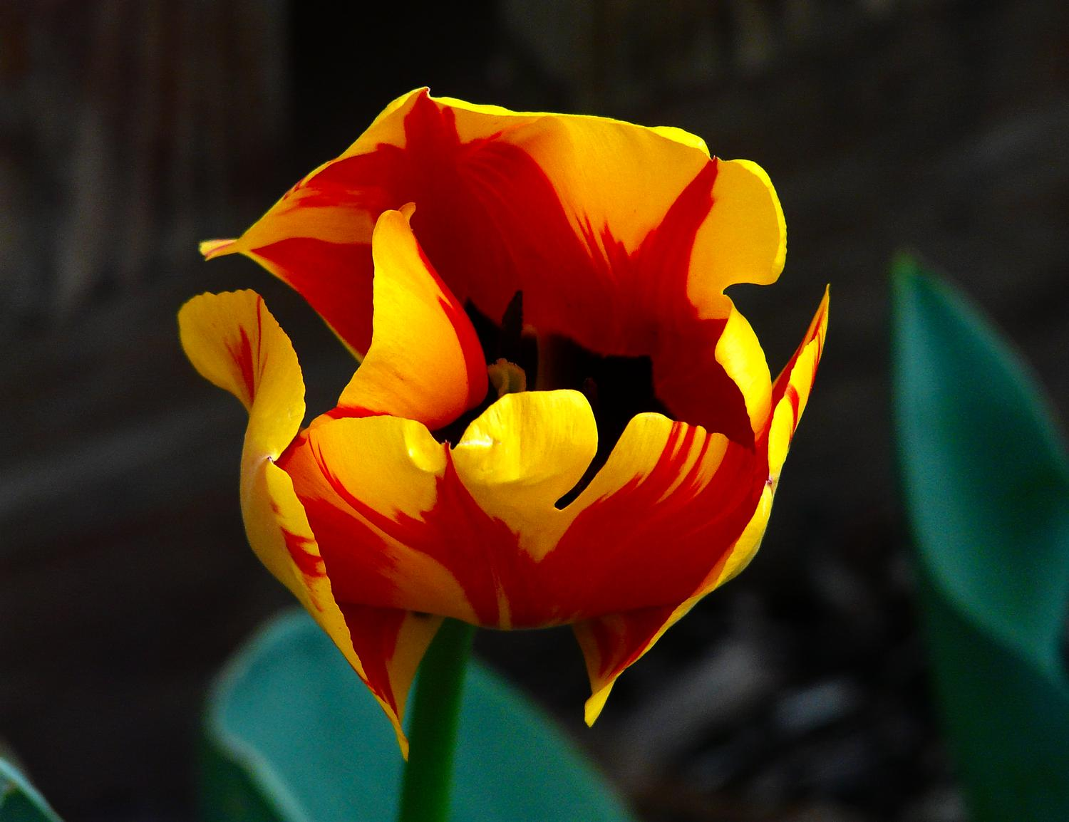 red and yellow tulip from our garden - Nature - such a precious gift - Techno-Impressionist Museum - Techno-Impressionism - art - beautiful - photo photography picture - by Tony Karp