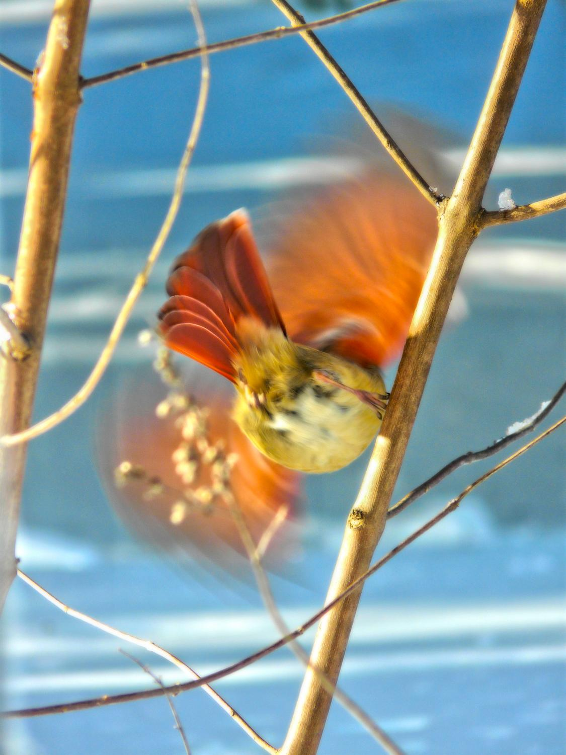 bird, taking her leave after a winter storm , snow February 2010 free to believe - Mrs. Cardinal taking her leave - Techno-Impressionist Museum - Techno-Impressionism - art - beautiful - photo photography picture - by Tony Karp