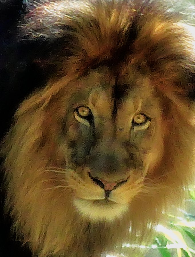 - At the Smithsonian's National Zoo. Who you gonna believe, me or those lion eyes</Center> - Techno-Impressionist Museum - Techno-Impressionism - art - beautiful - photo photography picture - by Tony Karp